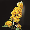 buddleia weyriana 'honeycomb'