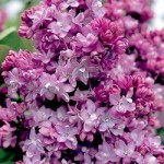 syringa vulgaris'Paul Thiron'