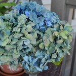 early hydrangea color