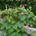 morning glory and hyacinth bean