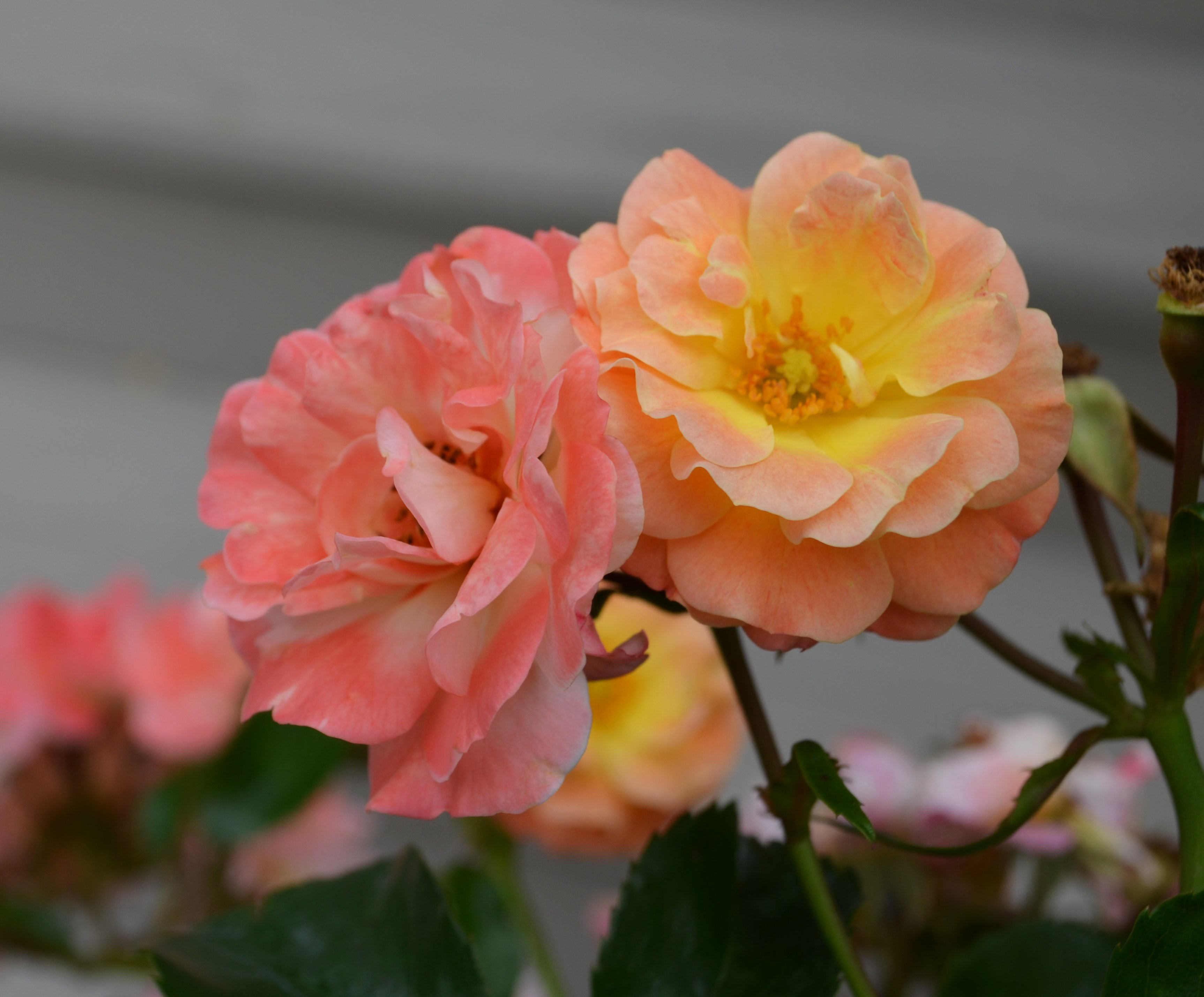 Roses In Garden: Plant Profile: Peach Drift Rose