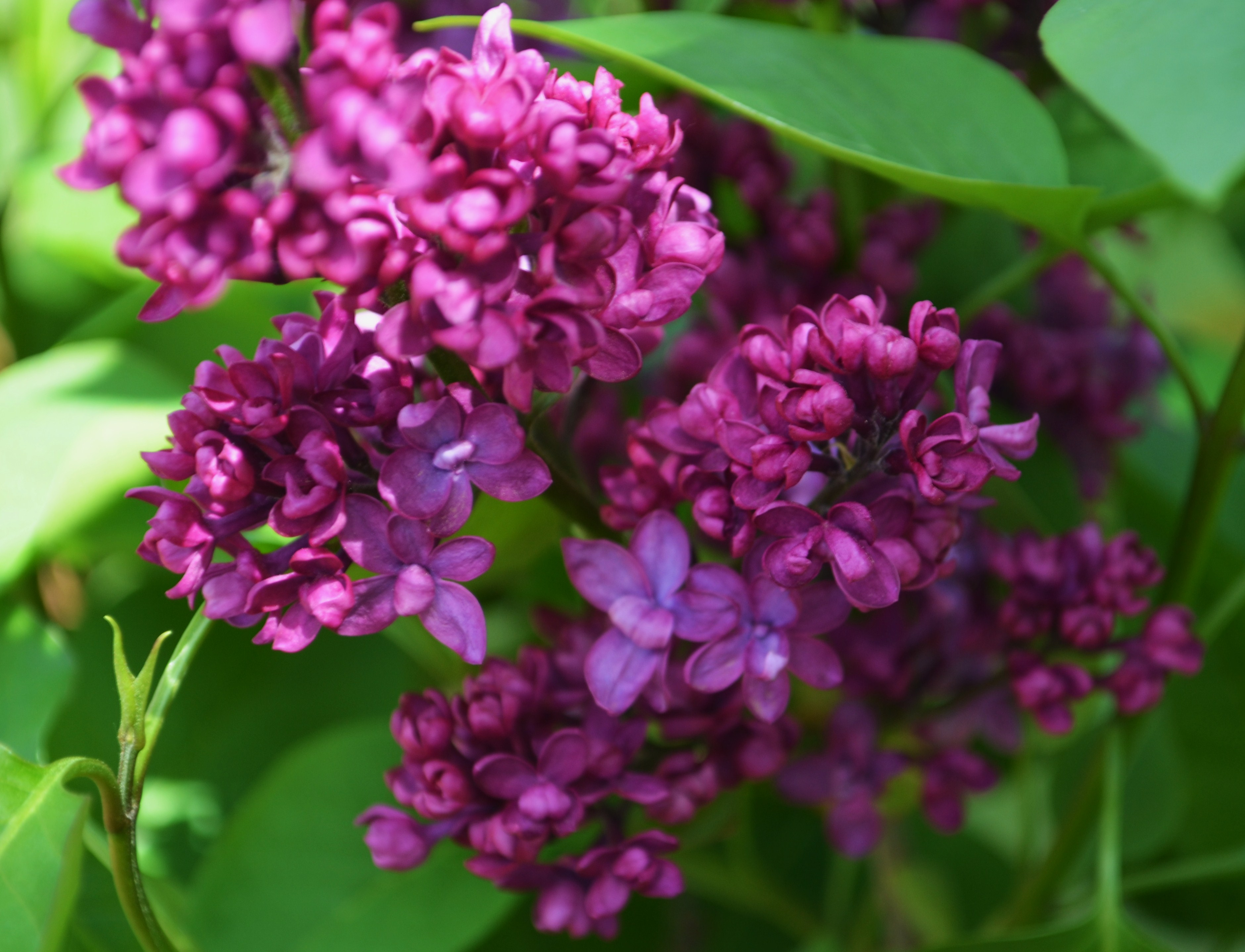 Charles Joly Lilac lilacs for the long haul garden in the burrow