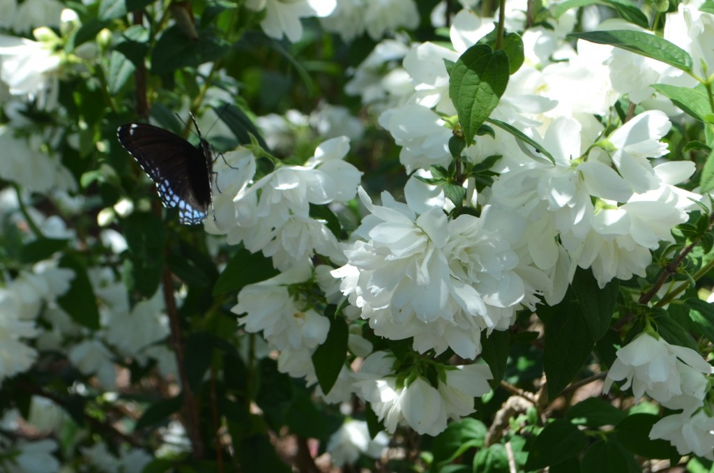 butterfly on mock orange