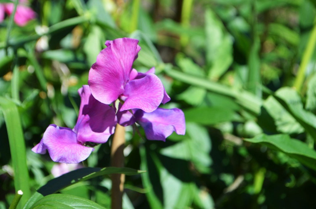 fire and ice sweet pea