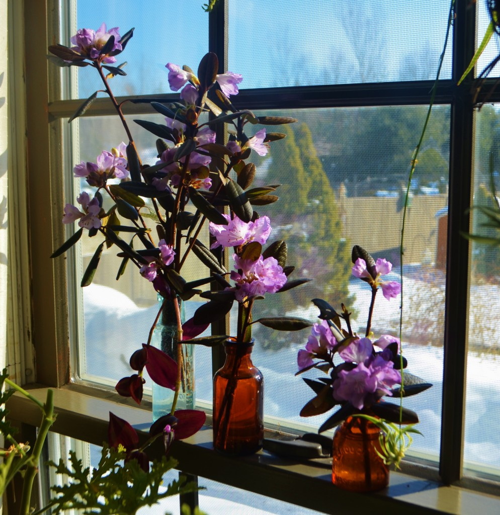 azaleas in the window