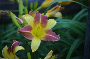 day lily cross