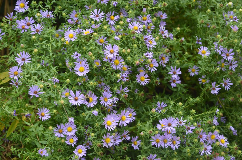 mystery aster