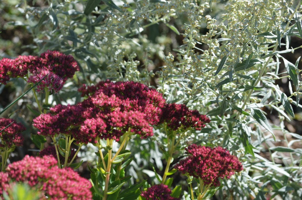 sedum and artemesia