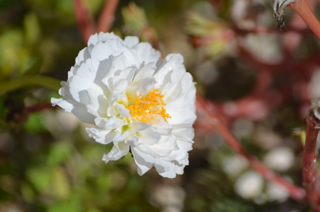a self seeded portulaca