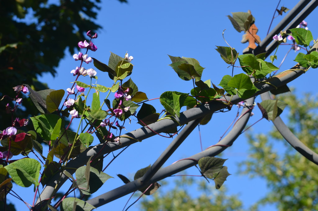 lablab purpurea or hyacinth bean vine